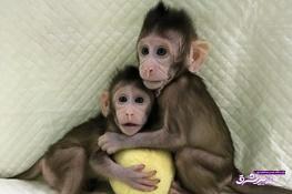 تصویر از فیلم | پژوهشگران به یکقدمی شبیهسازی انسان رسیدند: موفقیت چین در کلونینگ میمون