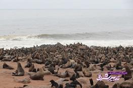 تصویر از تصاویر | خوکهای دریایی خلیج اسکلت