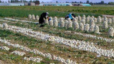 تصویر از ممنوعیت صادرات سیبزمینی و پیاز از ۱۵فروردین