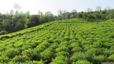 تصویر از پیش بینی برداشت ۴۰ هزار تن برگ سبز چای در کشور
