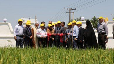 تصویر از به مناسبت روز ملی مزرعه برنج و با حضور سرپرست استانداری گیلان صورت گرفت؛ رونمایی از ارقام جدید برنج آنام و تیسا در رشت