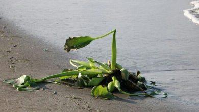 تصویر از سواحل گیلان در محاصره خطرناکترین گونه گیاهان مهاجم آبزی/ عکس