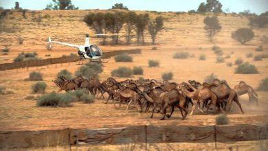 تصویر از تک تیراندازها شترها را نشانه گرفتند/قتل ۵۰۰۰ شتر در استرالیا؛ موافقان و مخالفان چه میگویند؟