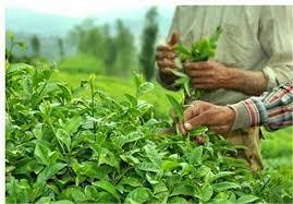 تصویر از رییس سازمان چای؛ چای کرونا ندارد؛ نگران نباشید / صادرات ۵۰۰۰ تن چای داخلی