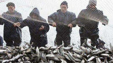 تصویر از صید بیش از ۱۷۰۰ تن ماهی در استان گیلان