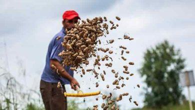 تصویر از تولید ۳۵ درصد بادام کشور در آستانهاشرفیه  رئیس اداره جهاد کشاورزی شهرستان آستانهاشرفیه از تولید ۳۵ درصد بادام کشور در این شهرستان خبر داد.