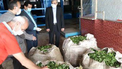 تصویر از خرید چای از چایکاران لاهیجانی بیش از ۴۰۰ تن برگ سبز چای از چایکاران لاهیجانی خریداری شد.