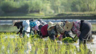 تصویر از صد هزار هکتار از مزارع گیلان زیر کشت برنج رفت