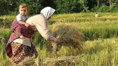 تصویر از محدود کردن کاشت برنج در ۱۷ استان کشور