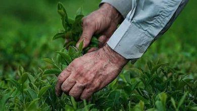 تصویر از عطر خوش چای تابستانه در گیلان پیچید