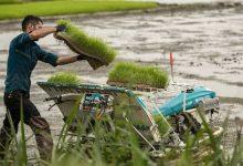 تصویر از نشا مکانیزه برنج در ۶۸ درصد شالیزارهای استان گیلان