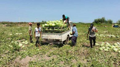 تصویر از آغاز برداشت هندوانه از ۱۰۰۰ هکتار باغات چاف