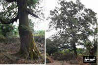 تصویر از واکنش منابع طبیعی آستارا به انتشار خبر قطع درخت کهنسال