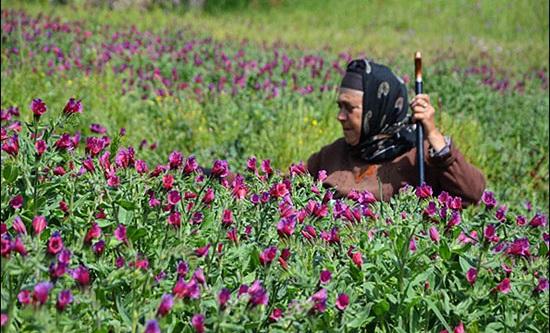 تولید گل گاوزبان