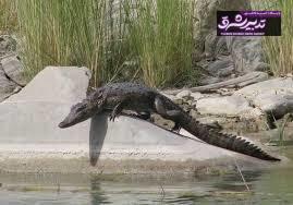 تمساحهای سرگردان